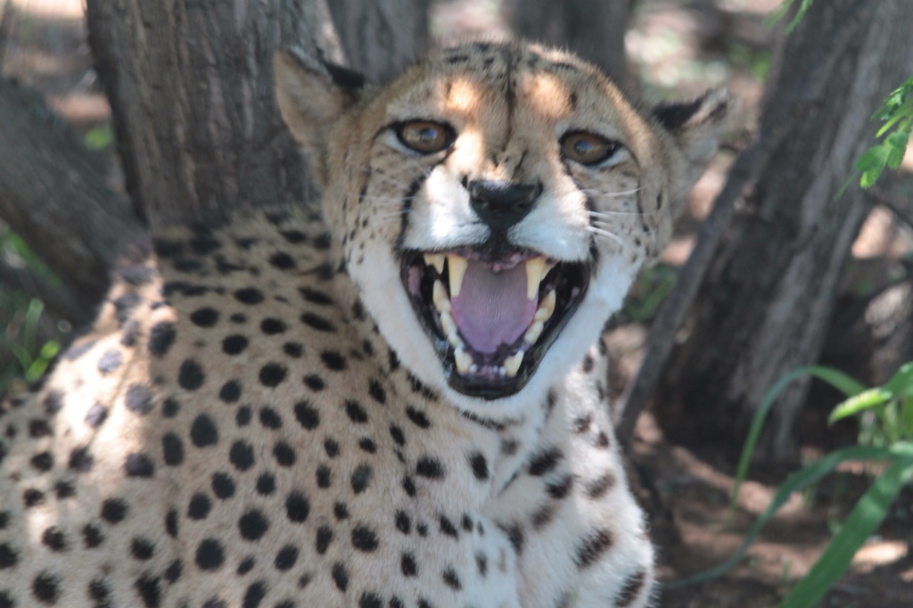 Cheetah Conservation – Otjiwarongo, Namibia